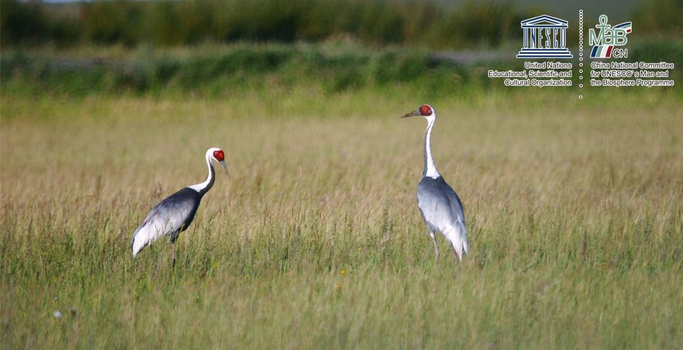 达赉湖世界生物圈保护区珍稀动物白枕鹤